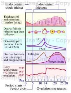 ovulatie